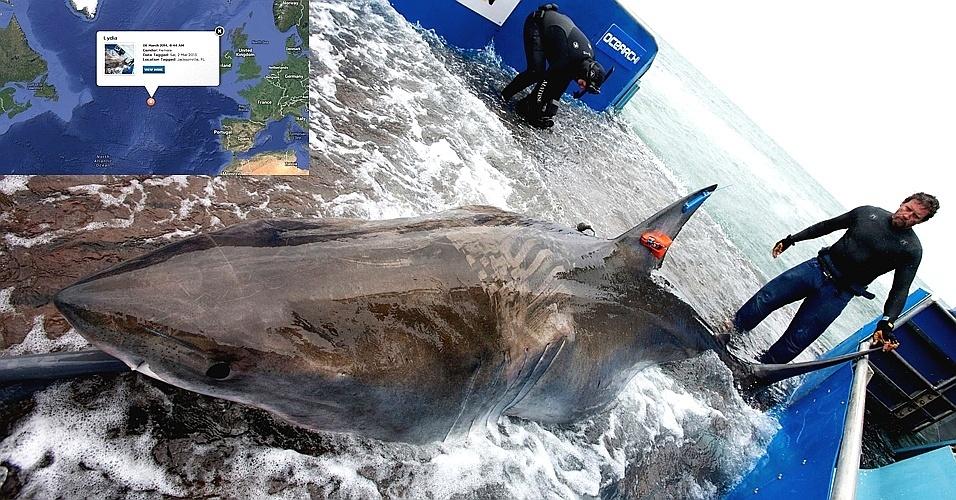 12.mar.2014 -Pesquisadores encontraram pela primeira vez um tubarão branco cruzando o oceano Atlântico de um lado para outro, de leste à oeste. Chamado de Lydia, o tubarão fêmea de 4,4 metros pode estar prenhe. Os cientistas do projeto Ocearch ficaram com o tubarão em um barco por 15 minutos, neste tempo, fizeram experimentos e o devolveram para o mar. Ela viajou mais de 30,5 mil quilômetros desde que um dispositivo de rastreamento foi colocado nela