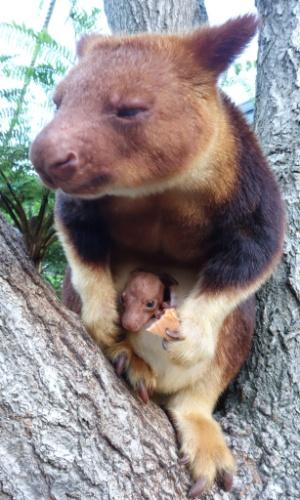 14.mar.2014 - Canguru-arbóreo de Goodfellow exibe pela primeira vez seu filhote, nascido em outubro, no zoológico Taronga, em Sydney, Austrália. Trata-se do primeiro nascimento da espécie, ameaçada de extinção, em mais de 20 anos na cidade australiana
