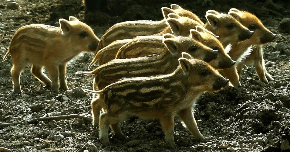 14.mar.2014 - Filhotes de javalis exploraram seu espaço no parque de veados Huelser Berg, em Krefeld, na Alemanha