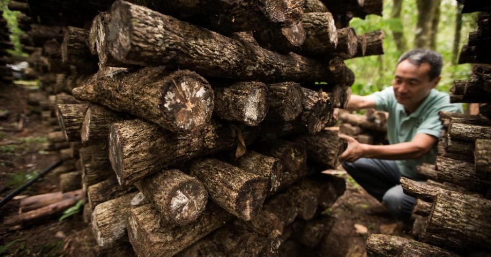 A toras de eucalipto já com as sementes de shiitakes são empilhados em forma de gaiola, como mostra a foto. No local, a temperatura máxima tem de ser de 25ºC e a umidade relativa do ar deve estar acima de 60% a fim de manter a umidade adequada no interior da madeira
