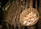 Negócio de shiitake começa com R$ 3.000 em tora de eucalipto; veja produção - Roosevelt Cássio /UOL