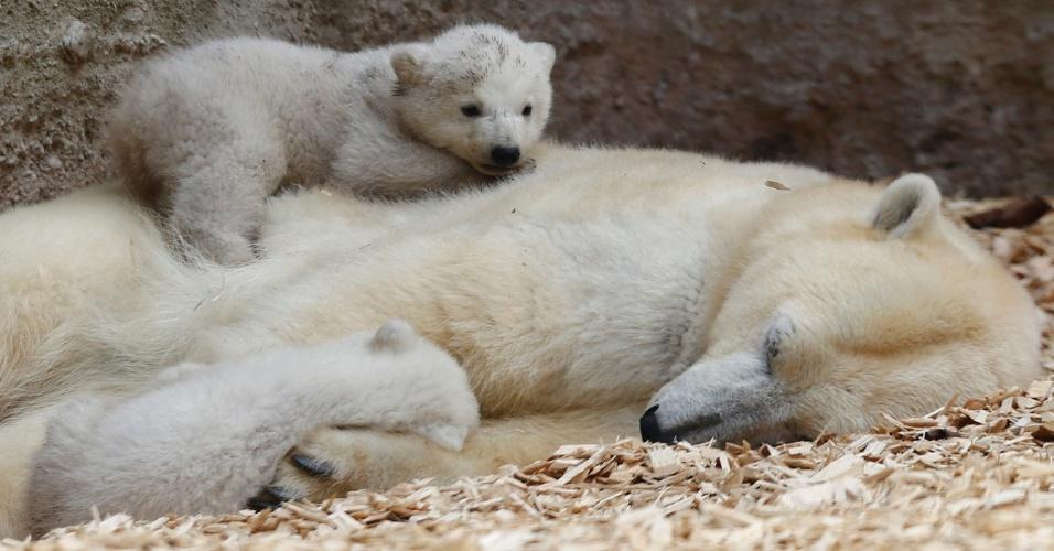 19.mar.2014 - Acompanhados da mãe, a ursa Giovanna, filhotes de urso polar fazem sua primeira aparição ao público no zoológico Hellabrunn, em Munique, na Alemanha. Com 14 semanas de idade, os filhotes ainda não têm nome