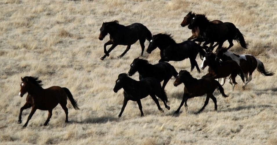 19.mar.2014 - Em foto tirada em fevereiro de 2012, cavalos selvagens correm em grupo pelo deserto oeste em Utah, fora Tooele, 18 de fevereiro de 2012. O cavalo selvagem, descendente dos cavalos trazidos pelos espanhóis para a América, é um símbolo do Oeste, mas sua proliferação sob o amparo de leis de proteção se tornou um problema de espaço vital nos Estados Unidos. O Birô de Gestão de Terras (BLM, na sigla em inglês), uma dependência do Departamento do Interior, tem a seu cargo atualmente 33.780...