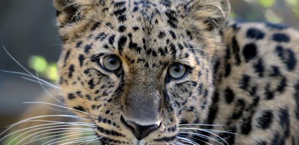 Estudo mostrou que cães eram 39% da dieta dos leopardos em cidade da Índia