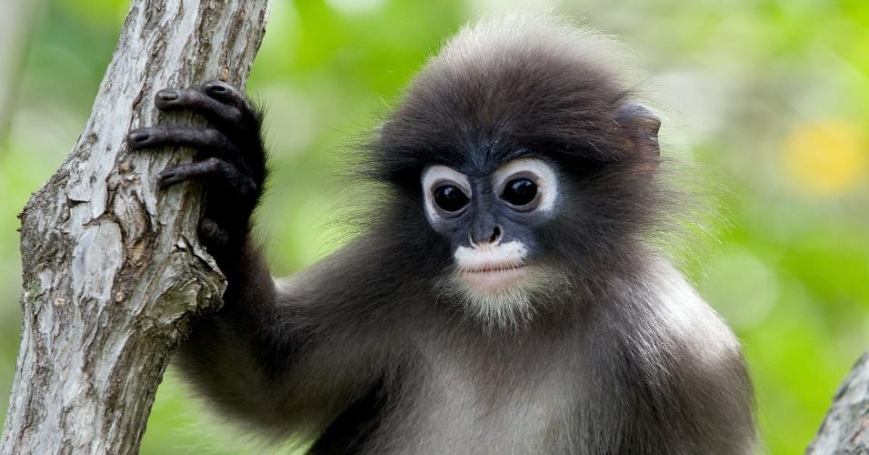 """Este macaco que parece ter saído de uma história em quadrinhos é nativo da Malásia. Tailândia e Mianmar. A espécie chamada """"Trachypithecus obscurus"""" está perto da ameaça de extinção por ter um número reduzido de exemplares. O animal vive em florestas e esta foto foi tirada em um parque nacional da Tailândia. De hábito diurno, o macaco se alimenta de frutas e flores"""