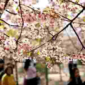 17.mar.2014 - Cerejeiras em flor no parque Gucun, na cidade de Xangai, na China. A cidade terá um festival de flores em 30 de março - Chen Fei/Xinhua