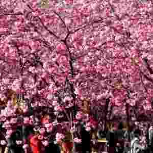"""23.fev.2014 - Visitantes observam cerejeiras em flor no parque Yuantongshan, em Kunming, na China. A cidade de Kunming é conhecida como """"cidade da primavera"""" por conta de seu clima ameno na maior parte do ano - Lin Yiguang/Xinhua"""