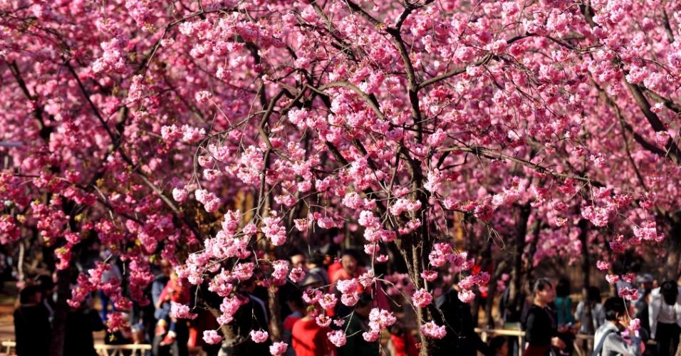 """23.fev.2014 - Visitantes observam cerejeiras em flor no parque Yuantongshan, em Kunming, na China. A cidade de Kunming é conhecida como """"cidade da primavera"""" por conta de seu clima ameno na maior parte do ano"""