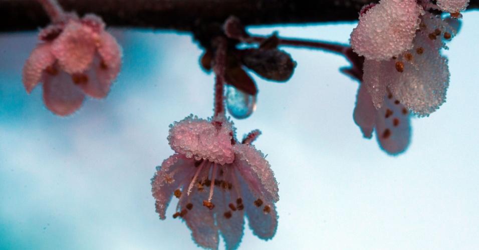 25.mar.2014 - Geada cobre flor de cerejeira em jardim de Pokrent, na Alemanha
