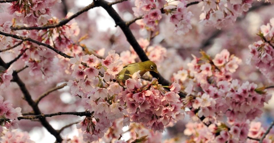 25.mar.2014 - Pássaro descansa em galho de cerejeira em parque de Tóquio, no Japão