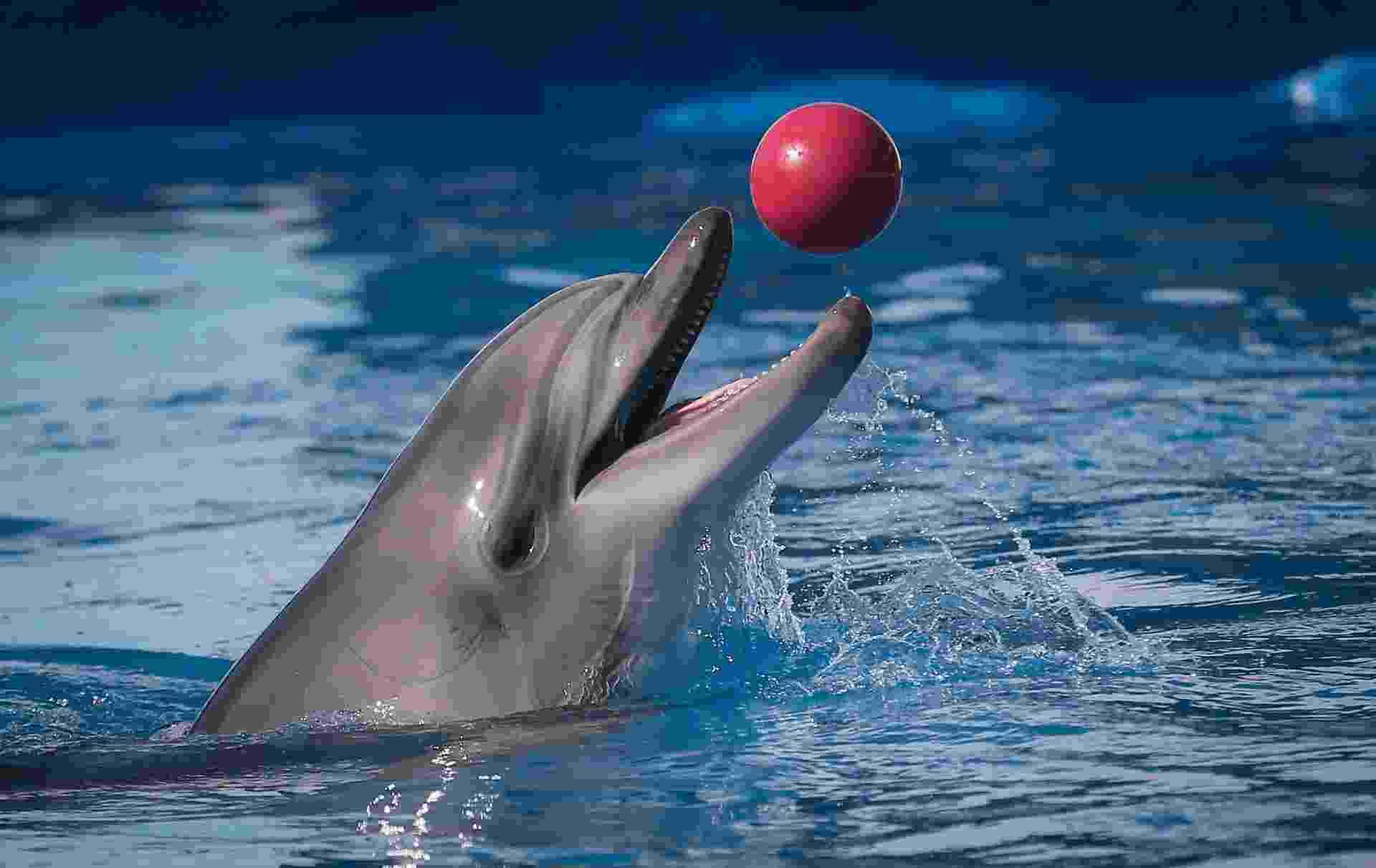 30.mar.2014 - Golfinho brinca com bola durante sessão de treinamento em Sebastopol, na Crimeia. O Aquário de Golfinhos de Sebastopol é um ramo de um aquário militar criado em 1965. No militar, os golfinhos são treinados para encontrar torpedos, minas e munição submersa. Depois da anexação da Crimeia à Rússia, o país anunciou que vai integrar os golfinhos militares à Marinha russa - Sergei Ilnitsky/EFE/EPA
