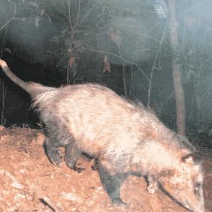 1º.abr.2014 - Fotografia registou um gambá-de-orelha-preta andando pela floresta da Araucária, no município de Lapa, no Paraná. Uma pesquisa feita na área registrou 41 espécies de mamíferos de médio e grande porte, sendo dez delas incluídas no Livro Vermelho da Fauna Ameaçada no Estado do Paraná. O levantamento da fauna foi realizado por meio de armadilhas fotográficas que capturavam as imagens dos animais que passavam à frente da câmera - Divulgação