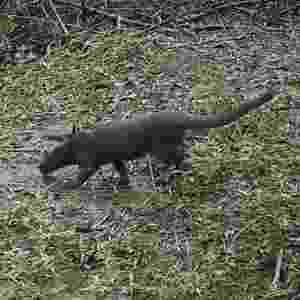 1º.abr.2014 - Um gato-mourisco foi registrado em uma fotografia durante uma pesquisa sobre a fauna e a flora da floresta da Araucária, no município da Lapa, no Paraná - Divulgação