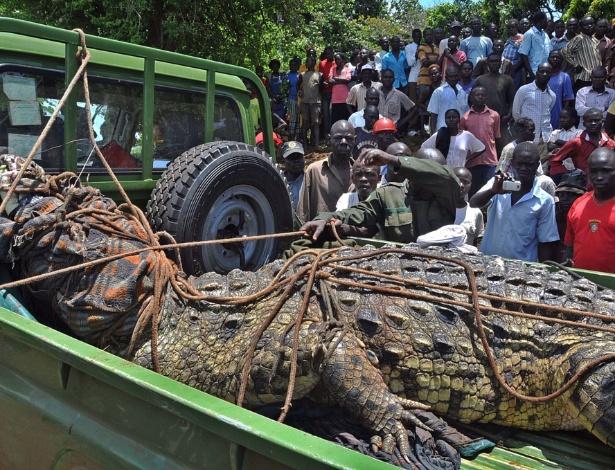 Impressionados com o tamanho e com os relatos de que o crocodilo teria matado quatro pessoas, moradores da região de Kakira, em Uganda, se reuniram para assistir à captura do animal