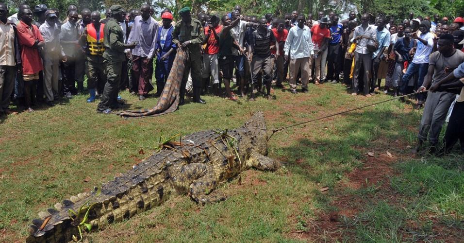 2.abr.2014 - Impressionados com o tamanho e com os relatos de que o crocodilo teria matado quatro pessoas, moradores da região de Kakira, em Uganda, se reuniram para assistir à captura do animal