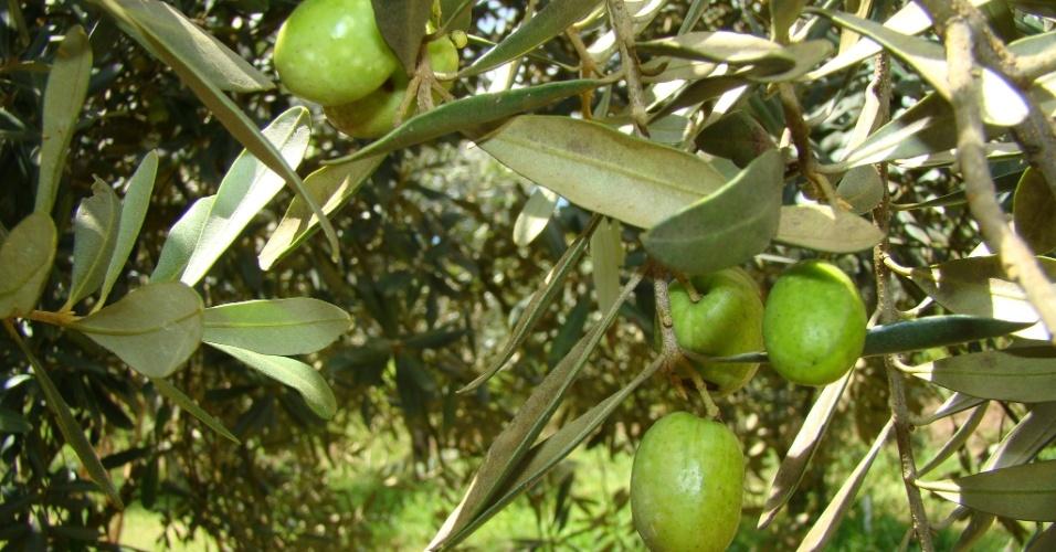Segundo a Epamig (Empresa de Pesquisa Agropecuária de Minas Gerais), a produção de azeitonas e azeite na região ainda é pequena porque os olivais entre quatro e seis anos que produzem atualmente, mas a plantação aumenta cerca de 20% ao ano