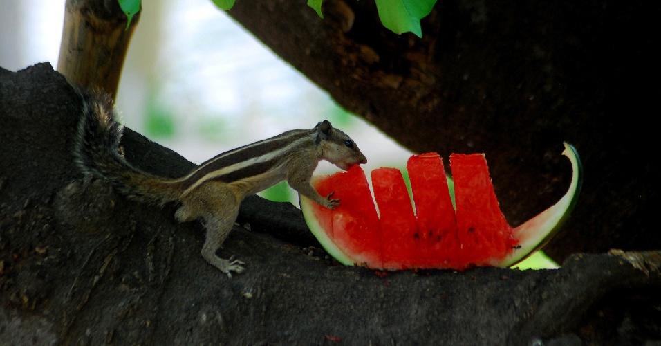6.abr.2014 - Esquilo come melancia em Bhubaneswar (Índia)