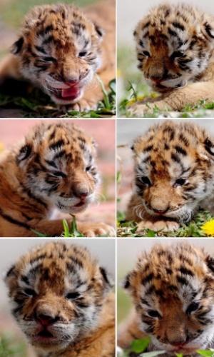 7.abr.2014 - Combinação de fotos mostra um filhote de tigre siberiano com apenas 10 dias de vida, em Liaoning, nordeste da China