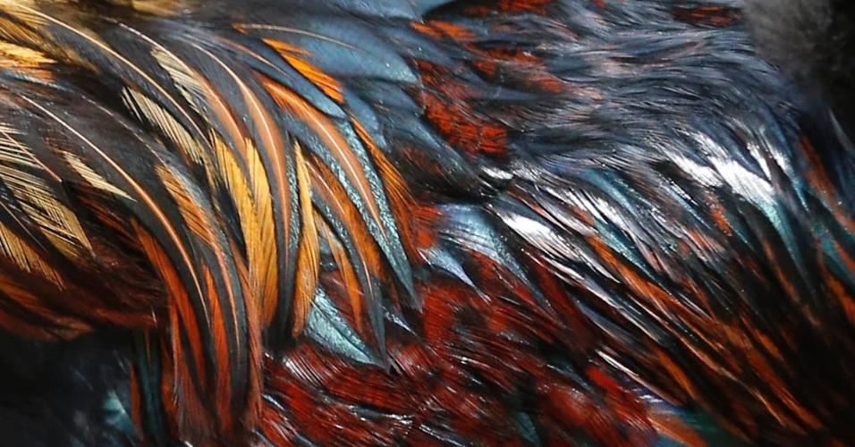 Nesta foto, detalhes das penas de galo da raça polonesa dourada, que chega a viver oito anos