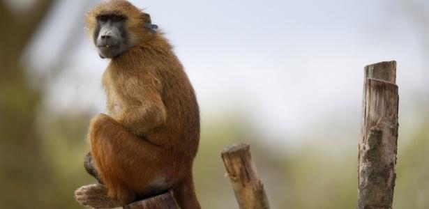 Macaco com coração de porco? Teste abre espaço para transplante com humanos