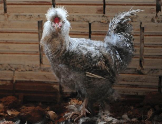 galinha  sedosa do Japão