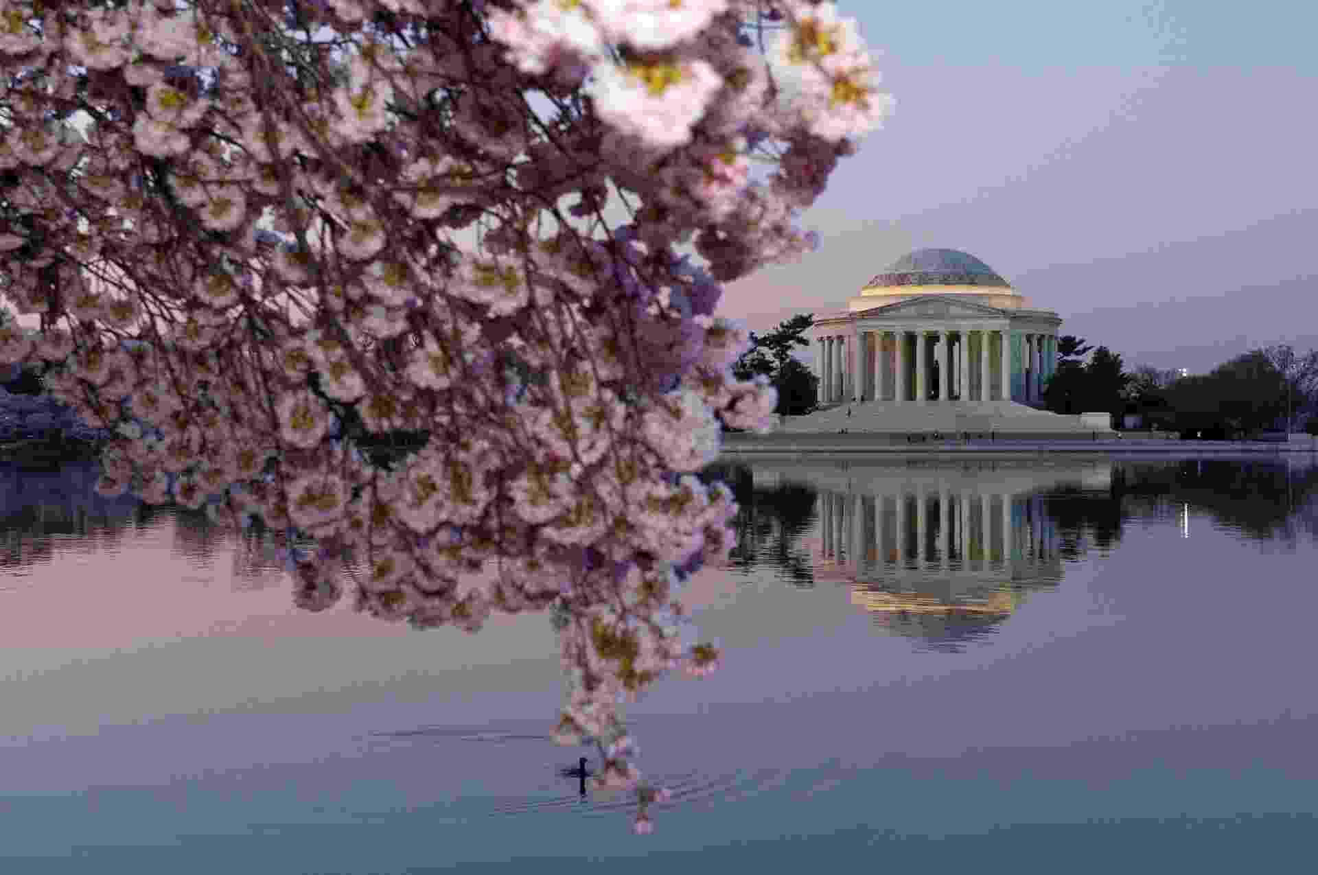 10.abr.2014 - Cerejeiras florescem perto do Jefferson Memorial, em Washington, nos EUA. As árvores devem chegar ao pico de florescimento nas próximas semanas. As primeiras cerejeiras do entorno do edifício foram plantadas em março de 1912 - Karen Bleier/AFP