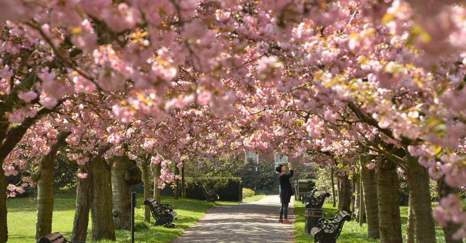 10.abr.2014 - Uma visitante do Parque Greenwich fotografa flor de cerejeira em árvores, no sul de Londres, nesta quinta-feira (10)