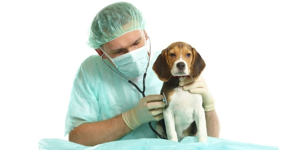 Veterinário; pet; cachorro, beagle