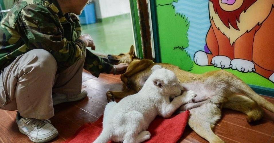 21.abr.2014 - Filhote de leão branco é alimentado por uma cadela em parque de vida selvagem em Zhejiang, leste da China. O filhote nasceu no parque e como a mãe recusou-se a alimentá-lo, uma cadela foi trazida para ser a sua ama de leite