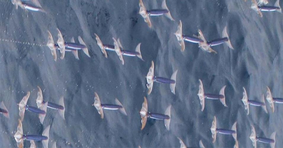 """Já viu um peixe voar? Pois estas lulas são voadoras. Pesquisadores da Universidade de Hokkaido, no Japão, viram cem lulas voadoras no oceano Pacífico, a 600 quilômetros de Tóquio, em 2011. As lulas se lançam para fora do mar usando poderosos jatos d""""água, abrem as nadadeiras e """"voam"""" 30 metros em três segundos. Depois, elas recolhem as nadadeiras para amortecer o choque e entram na água de forma aerodinâmica"""