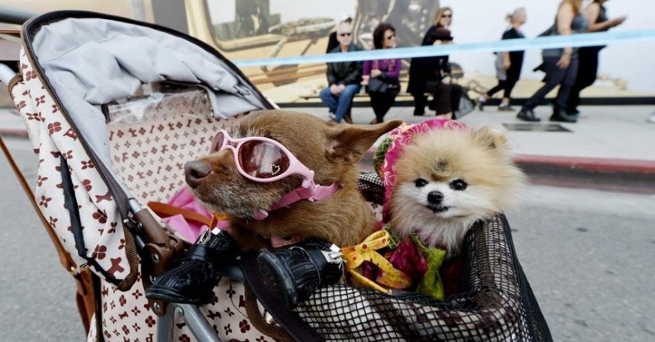 28.abr.2014 - Senhorita Coco Puffs (à esq.), chihuahua e Jack (à dir.), um spitz alemão, andam em um carrinho de criança durante uma festa de bloco que celebra o 100º aniversário da cidade de Beverly Hills, na Califórnia, no último domingo (27)