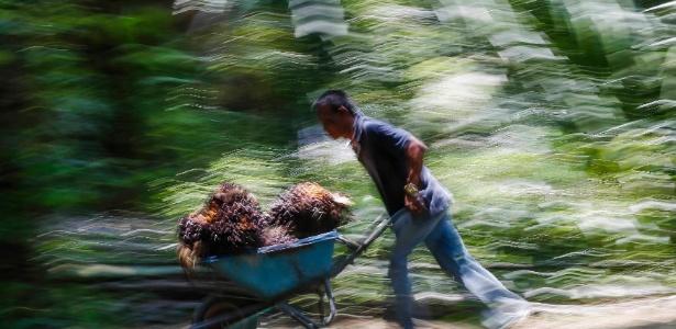 Trabalhador empurra um carrinho com frutos para a fabricação de óleo de palma
