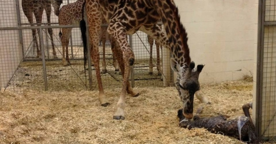 29.abr.2014 - 29.abr.2014 - A filha da girafa Tessa nasceu na segunda-feira (28), após um parto que durou cerca de 5 horas, no zoológico da cidade de Cincinnati, nos EUA. O nascimento chamou a atenção de outras girafas, que logo foram ver o novo filhote. O zoo pediu ajuda dos internautas para dar um nome a uma nova moradora do local. A escolha começa nesta terça-feira (29) e vai até a próxima quinta-feira (1), no Facebook do zoo. Jane, Trevor e Neckface são algumas das mais de 4 mil sugestões enviadas pelos internautas
