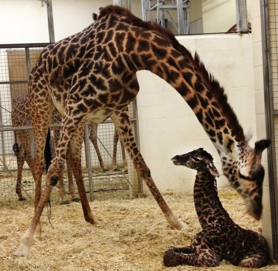 29.abr.2014 - A filha da girafa Tessa nasceu na segunda-feira (28). O parto durou cerca de 5 horas, no zoológico da cidade de Cincinnati, nos EUA, e foi transmitido pelo Twiiter. O zoo pediu ajuda dos internautas para dar um nome a uma nova moradora do local. A escolha começa nesta terça-feira (29) e vai até a próxima quinta-feira (1), no Facebook do zoo. Jane, Trevor e Neckface são algumas das mais de 4 mil sugestões enviadas pelos internautas
