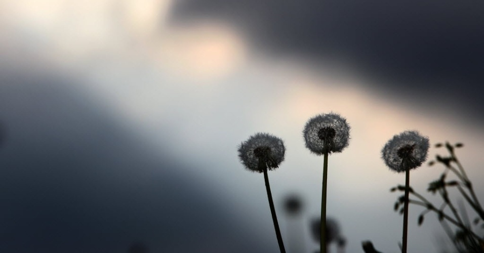 29.abr.2014 - Dentes-de-leão balançam ao vento em prado próximo a Rieder, no sul da Alemanha, nesta terça-feira (29)