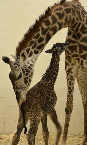 29.abr.2014 - O zoológico da cidade de Cincinnati, nos EUA, quer ajuda dos internautas para dar um nome a uma nova moradora do local. A filha da girafa Tessa nasceu na segunda-feira (28), após um parto que durou cerca de 5 horas. A escolha do nome começa nesta terça-feira (29) e vai até a próxima quinta-feira (1), no Facebook do zoo. Jane, Trevor e Neckface são algumas das mais de 4 mil sugestões enviadas pelos internautas