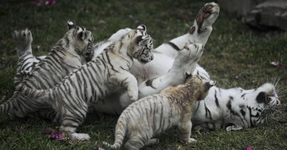 Fêmea de tigre-de-bengala brinca com filhotes que nasceram em cativeiro no zoológico do Huachipa, em Lima (Peru), nesta terça-feira (29)