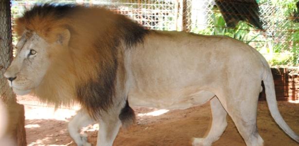Leão Rawell,9, foi furtado de criadouro em Monte Azul Paulista (a 400 km de São Paulo) - Divulgação