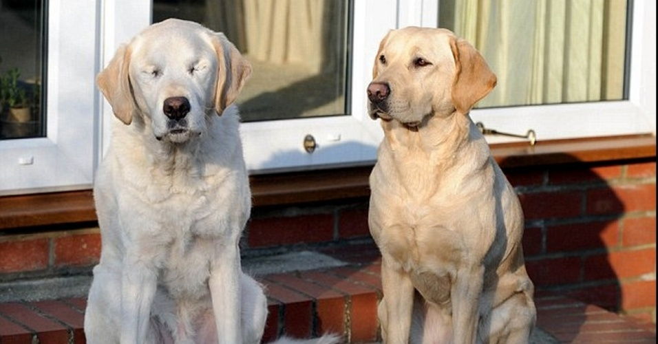 05.mai.2014 - Opal, um cão-guia da raça labrador (à direita) ajuda o dono e seu antigo cão-guia, Edward (à direita), depois que o colega canino teve catarata e perdeu a visão. Opal é fêmea e já está chamando atenção de toda uma comunidade na Inglaterra