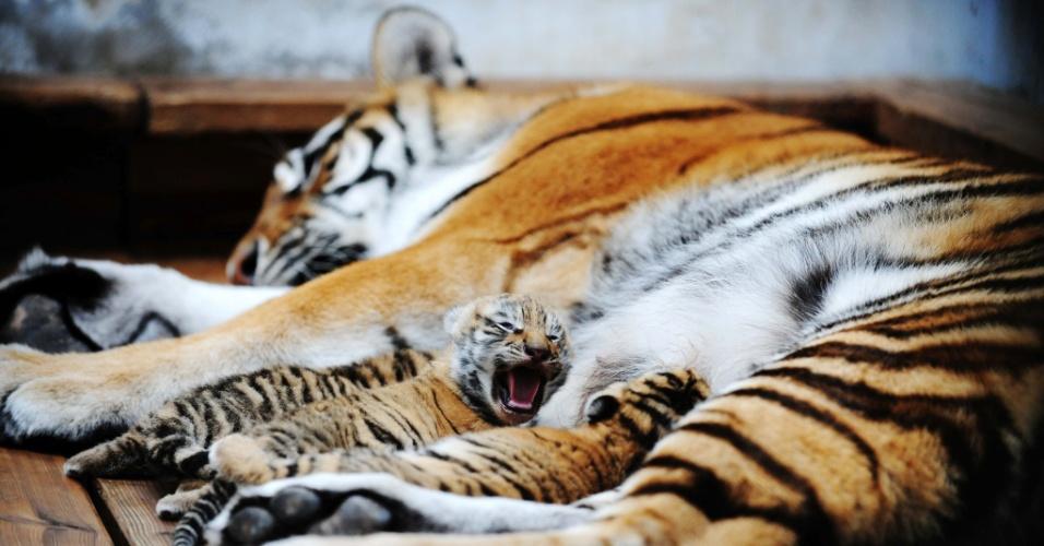 6.mai.2014 - Filhotes de tigre siberiano mamam e descansam no Jardim de Tigres Siberianos de Heilongjiang, em Harbin, nordeste da China, nesta terça-feira (6). Uma tigresa de 12 anos deu à luz três filhotes no último dia 26 de abril; espera-se que 100 tigres siberianos nasçam no centro em 2014
