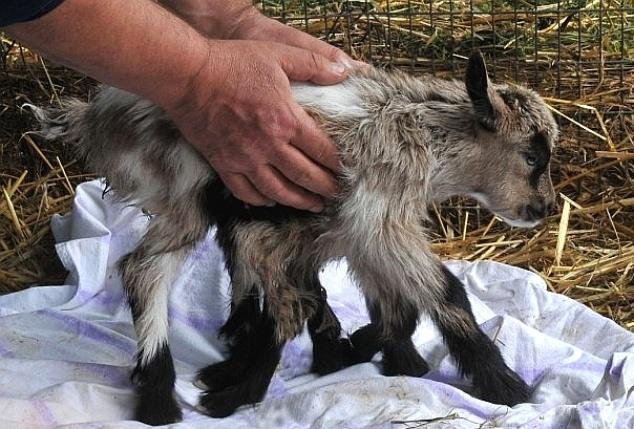 6.mai.2014 - Um bode com oito patas nasceu em uma fazenda em Kutjevo, no nordeste da Croácia. Ele também nasceu com órgãos sexuais masculinos e femininos. A razão da má formação, segundo veterinários locais entrevistados pelo Daily Mail, é uma fecundação gêmea mal desenvolvida