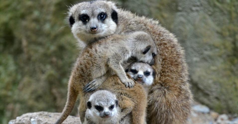 7.mai.2014 - Mamãe suricato posa para foto com filhotes no zoológico de Dresden, Alemanha