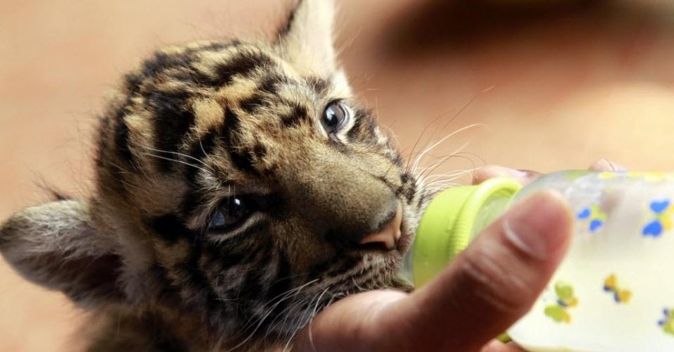 8.mai.2014 - Filhote de tigre da Sumatra toma mamadeira no zoológico Taman Sari, em Bandung, na Indonésia. O filhote nasceu no dia 28 de março passado