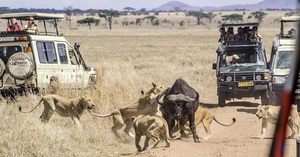 8.mai.2014 - Turistas aterrorizados observaram enquanto um bando de leões atacou um búfalo, na Tanzânia. Segundo as informações divulgadas pelo jornal britânico Daily Mail, onze leões (entre fêmeas e jovens machos) lutaram contra o animal, mas não foram capazes de vencê-lo. Mesmo ferido, o búfalo conseguiu escapar