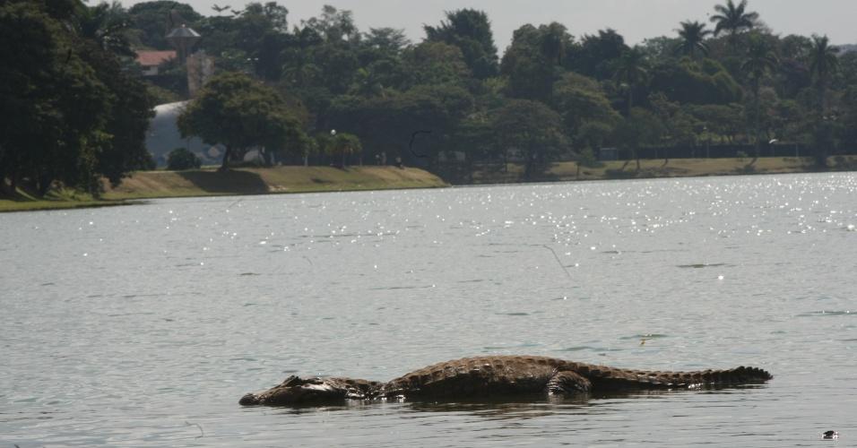11.mai.2014 - Jacaré é visto na lagoa da Pampulha, em Belo Horizonte (MG).