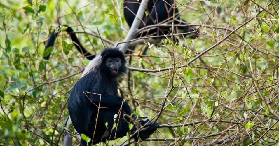 11.mai.2014 -   Macacos de cauda longa sobem em árvores na Indonésia. A espécie é protegida pela legislação local