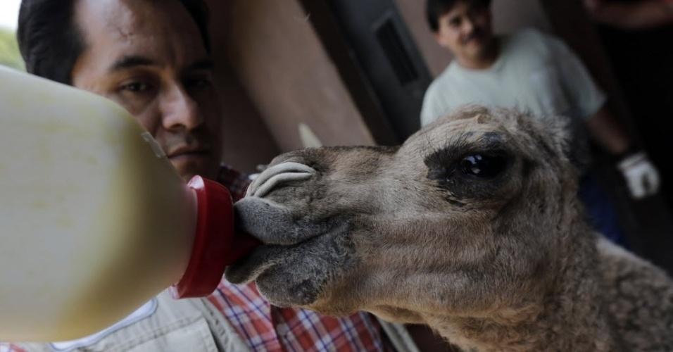 12.mai.2014 - O veterinário Alberto Olascoaga alimenta um bebê dromedário no zoológico de Chapultepec, na Cidade do México, nesta segunda-feira (12). O animal nasceu em cativeiro no dia 5 de abril e o zoológico criou uma competição pública para escolher o nome do filhote