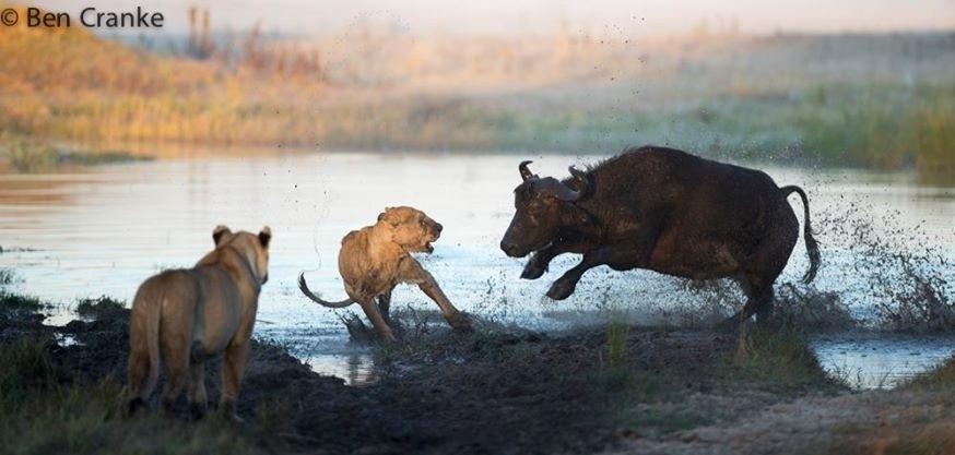 13.mai.2014 - O fotógrafo Ben Cranke, 49, capturou o momento em que uma fêmea de búfalo ataca leões na tentativa de proteger o seu filhote, nos pântanos de Botsuana, na África. Segundo o fotógrafo, o ataque dos leões foi frustrado pela mãe enfurecida