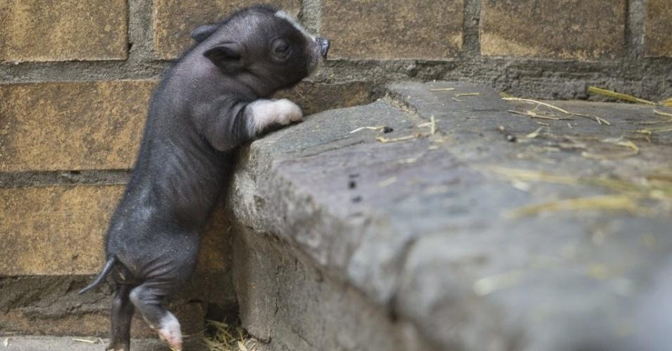 13.mai.2014 - Filhote de porco nascido a pouco mais de uma semana tenta subir uma escada no zoológico de Tierpark, em Berlim, Alemanha