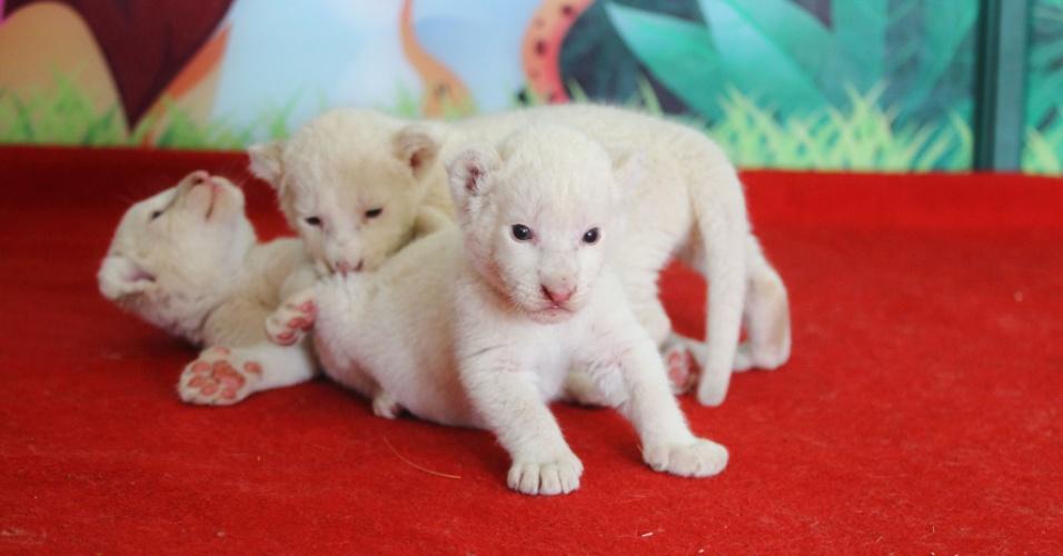 13.mai.2014 - Filhotes de leão branco brincam no zoológico de Hangzhou, província de Zhejiang, no leste da China, na quinta-feira (13). Eles nasceram há três semanas, foram abandonados pela mãe e agora contam com leite de um cachorra para sobreviver